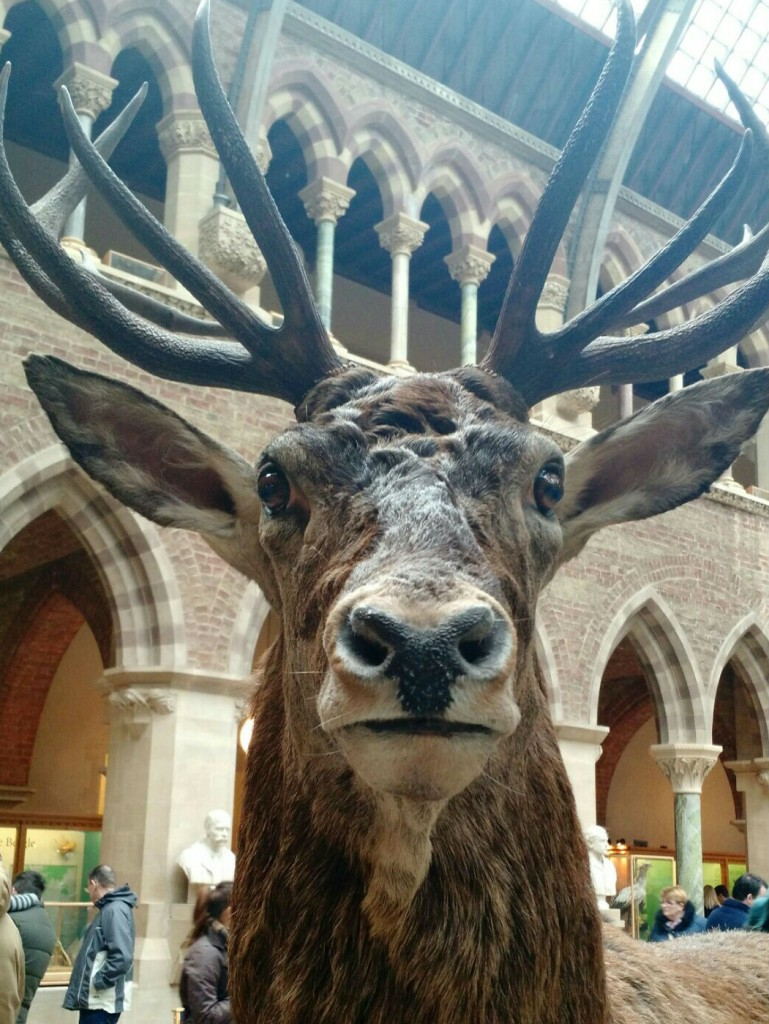 taxidermy stag at oxford university museum of natural history